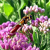 Male Golden Rein Wasp View 3