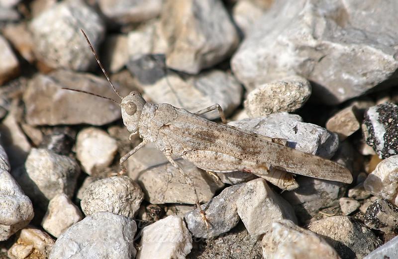 Male Seaside Grasshopper View 1