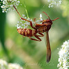 Red And Yellow Paper Wasp View 3