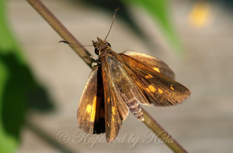 Beautiful Broad-winged Skipper