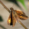 Beautiful Broad-winged Skipper