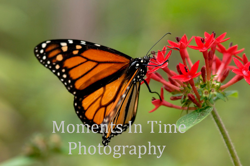 Monarch red blossom
