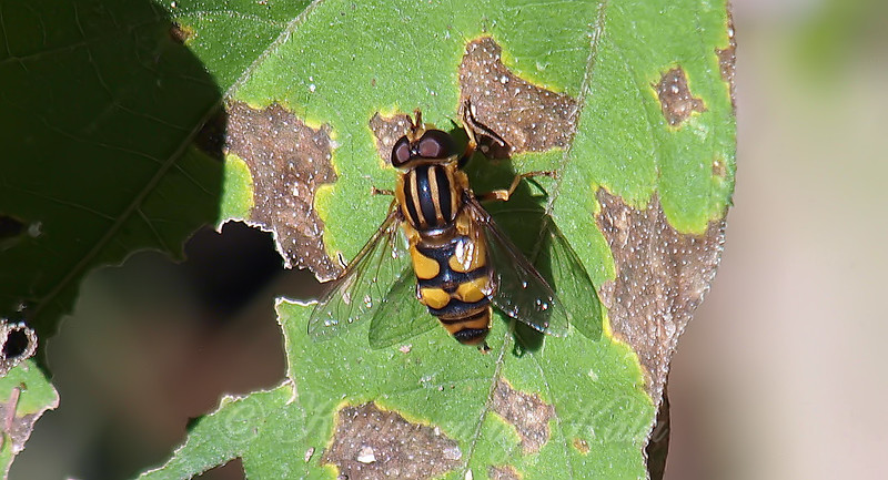 Syrphid Fly At The Heard