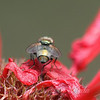 Green Bottle Fly View 2