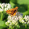 Fiery Skipper On  White Prairie Clover