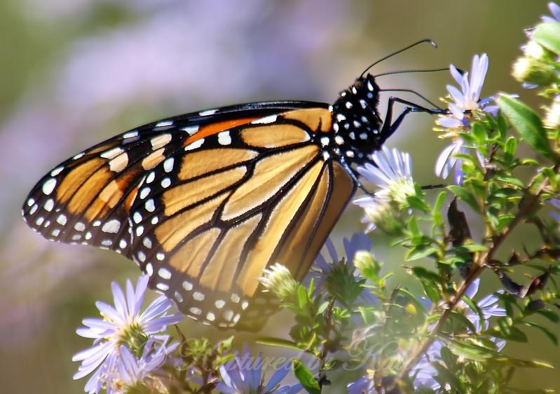 Pretty Monarch At The Heard