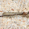 Narrow-winged Damselfly (see update