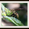 Guinea Paper Wasp