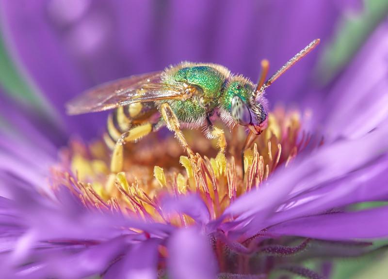 Metallic Green Halactid bee  on Aster