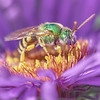 Metallic Green Halactid bee  on Aster