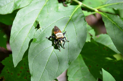 Asilidae -  Laphria thoracica - Bee-Like Robber Fly