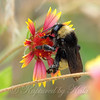American Bumble Bee On Indian Blanket