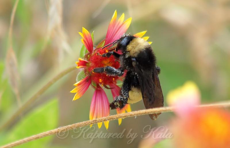 American Bumble Bee On Indian Blanket