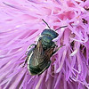Texas Mason Bee