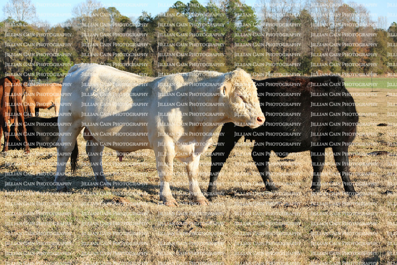 Aroused white male bull approaches a heifer on the farm range