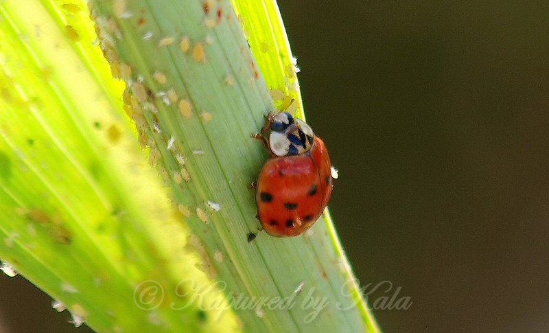 Close Up Of A Harlequin Ladybird