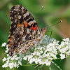 Pretty Painted Lady On Queen Anne's Lace
