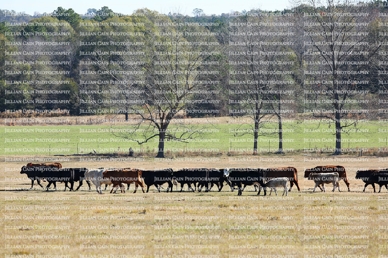 Cows walking in a straight line on the farm