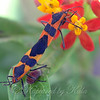 Two Large Milkweed Bugs Busy Making Little Milkweed Bugs