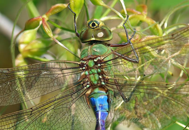 Common Green Darner Close Up