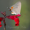 Male Gray Hairstreak On  Red Salvia