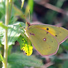 Pretty Little Orange Sulphur