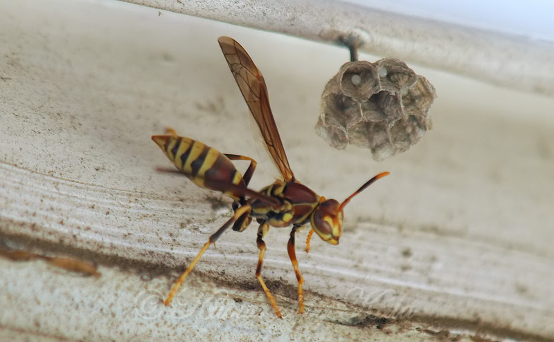 Wasp Eggs