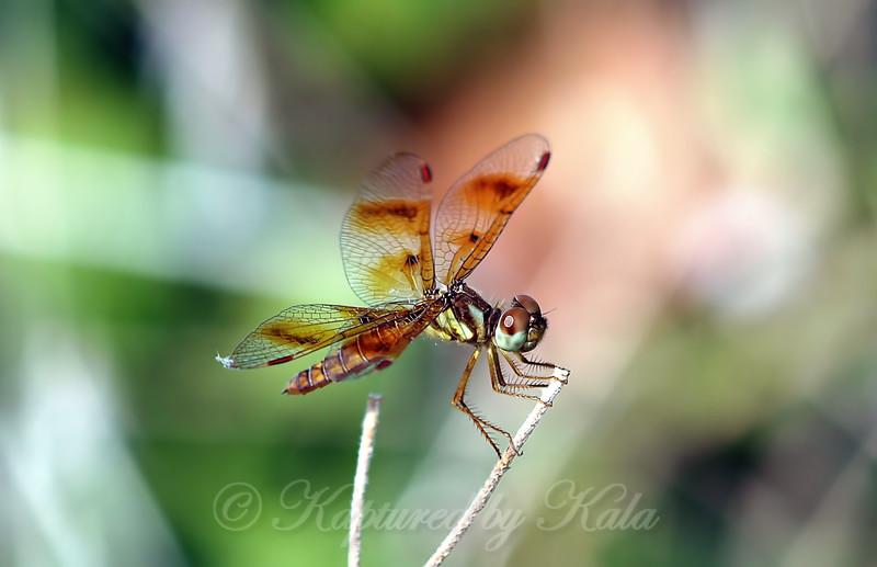 Pretty Little Amberwing