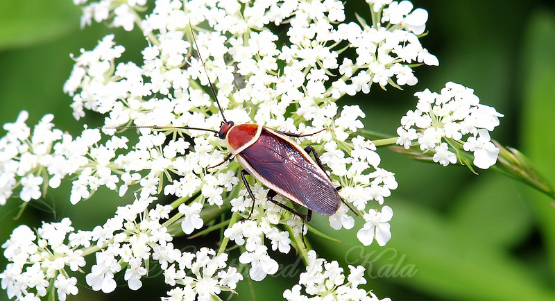 Pale-bordered Field Cockroach