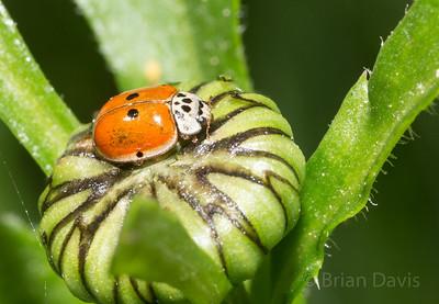10 Spot Ladybird