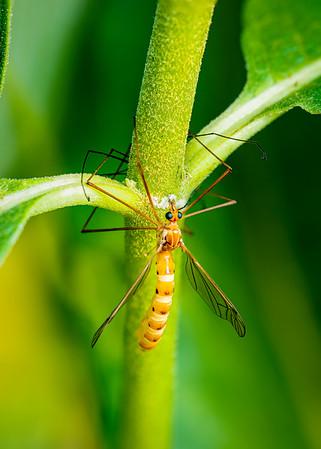 Cranefly ?