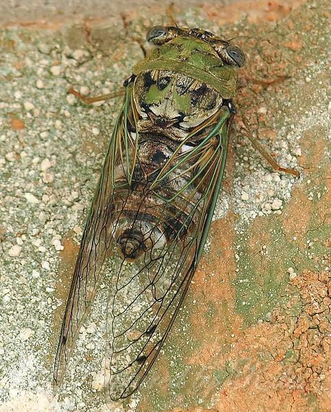 Resh Cicada Top View