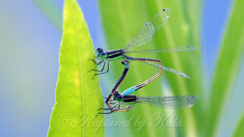 Male And Female Rambur's Forktail