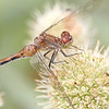Dragonfly on Rattlesnake Master