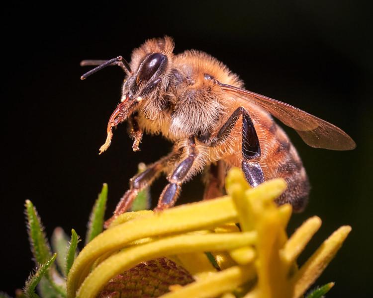 Honeybee In Detail