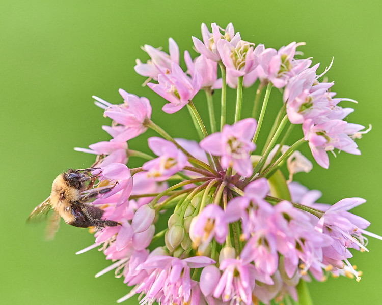 Bumble Bee visiting Wild Onion