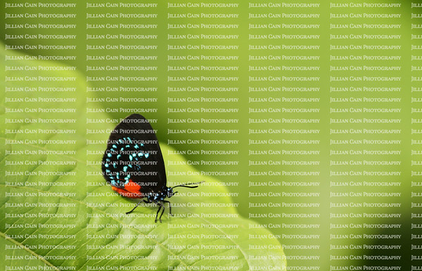 Atala Butterfly sitting on a leaf