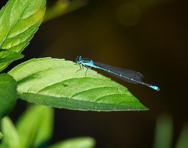Damselfly resting on a leaf. Nikon D7100, Nikon 300mm AF-S w/ TC-14eII