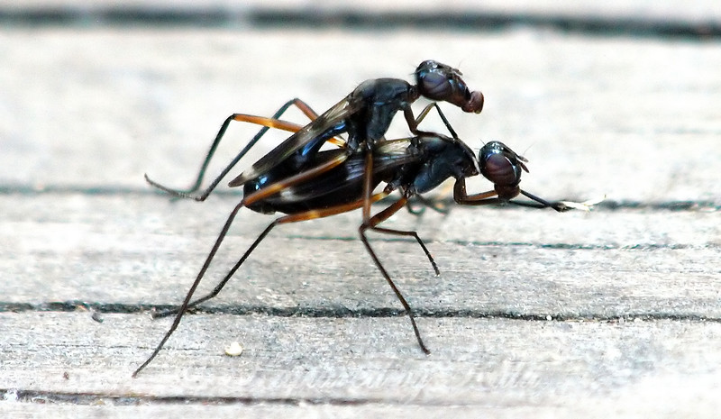 Complex Mating Rituals Of The Stilt-legged Fly  View 3