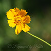 Coreopsis With Tiny Syrphid Fly