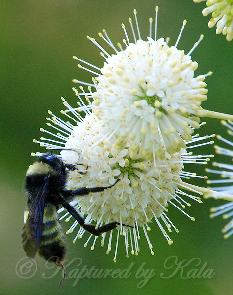 American  Bumble Bee View 1