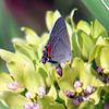 Milkweed, Its Not Just For Monarchs