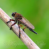 Giant Robber Fly