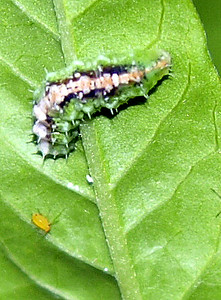 Hoverfly Larvae part 2 of 3 of the milkweed story