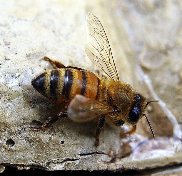 Honey Bee At My Bird Bath