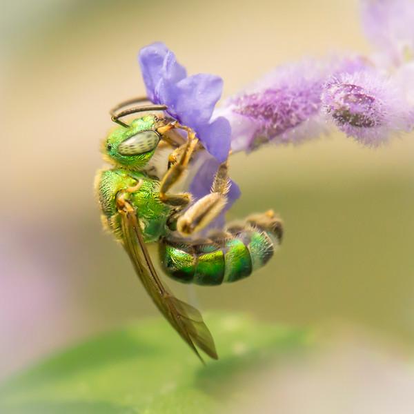 Brilliant Green Bee