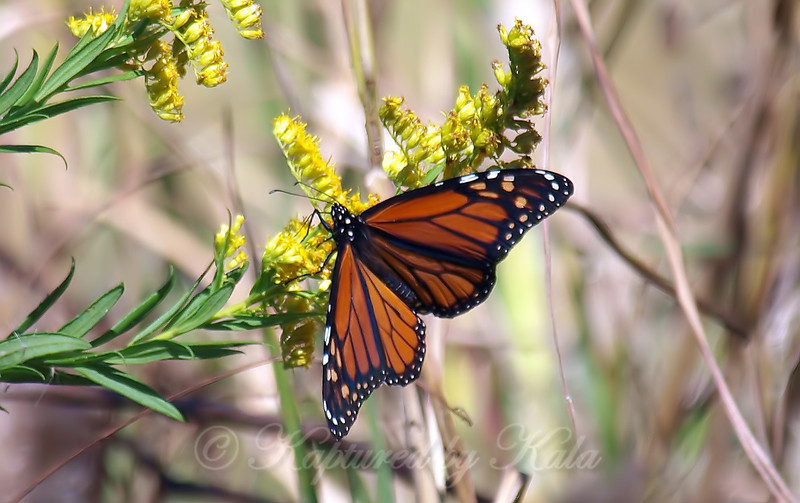 Monarchs Like Goldenrod Too