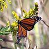 Monarchs Like Goldenrod Too