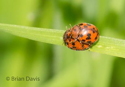 24 Spot Ladybird