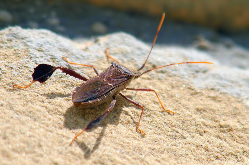 Another New Species Of Leaf-footed Bug